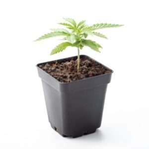 Papaya Punch pianta di cannabis ornamentale